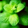 zanzando: A mint plant from above. (Mint.)