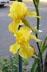 onyxlynx: 2 yellow iris flowers in sidewalk planting (Yellow Irises)