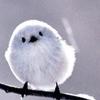 cesare: a white bird on a branch (snowbird)