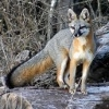 urocyon: Grey fox crossing a stream (Default)