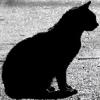 dark_kitten01: cat silhouette (pic#4490308)