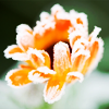 trascendenza: orange flower, petals rimmed with white. (-pretty orange flower.)