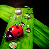 dancesontrains: A ladybird on a water spotted leaf (Dr. Ladybug)