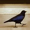 teigh_corvus: ([Personal] Blackbird wandering)