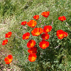 philena: (poppies)
