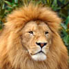 pat_le_lion: (altier)