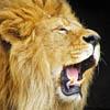 pat_le_lion: (rugissant)