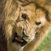 pat_le_lion: (tu cherches la m*rde)