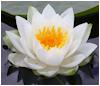 erika: (buddhism: lotus flower)