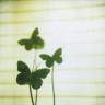 lily_kohai: (Stock: Clover butterflies)