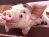 boris_b: (cute piggy)