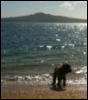 cyphomandra: dog on beach with Rangitoto in the background (dog)