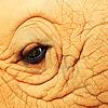 auburn: Close-up elephant eye (Elephant Eye)