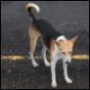 dhobikikutti: Indian dog on road (kutti)