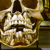 orm: a child's skull, partially cut away to expose the adult teeth that have yet to grow out. WAITING FOR THEIR TIME TO COME. (I'LL JUST DRAW A BILLION: teeth)