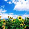 gandaki: field of sunflowers (sunflowers)