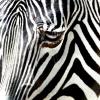 slotava: (зебра)