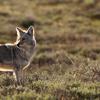 coyote: (coyote sun)