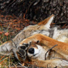 coyote: (coyote sleep)