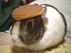 steorra: Rabbit with a pancake on its head (random weirdness)