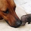 pensnest: Close up of ridgeback's nose nuzzling tiny piglet (motherly love)