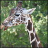 highlander_ii: reticulated giraffe head in front of lush greenery ([zoo] giraffe - reticulated)