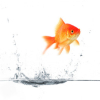 go_dog_go: A goldfish jumping out of the water (flying fish)
