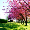 soulswallo: (Stock-Blossoming Trees)