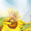 soulswallo: (Stock-Summer-Sunflower)