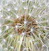 myschyf: (Dandelion up close)