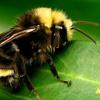 preuxchevalier: (bees)