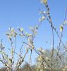 underthewillows: (sally tree)