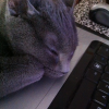cathexys: my kitten sleeping on the keyboard (emmy)