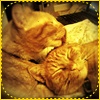red_eft: My two ginger tabbies. One is licking the other's ear. (u has a flavor)