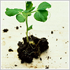 forestofglory: a small plant in a clump of dirt  (eco-geek)