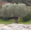 derniersoleil: An olive tree (Default)