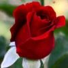 aqualegia: Red rosebud (Rosebud)