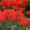 raveninthewind: (Red tulips)