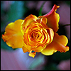 gypsy: (beauty: rose)