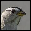 light_of_summer: (white-crowned sparrow)