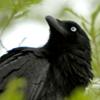 moonvoice: (wczuciki - australian raven watchful)