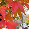 matociquala: (new england maple leaves cambridge)