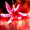 turkish_lilies: (turkish lily)