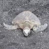 ilyena_sylph: loggerhead turtle on a black sand beach (Photos: turtle)
