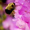 queenbarwench: Bumblebee on purple flower (seasons: bumblebee)