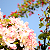 queenbarwench: Pink spring blossom with blue sky in background (seasons: spring blossom)