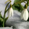 """thene: """"'The spirit is a garden,' said he."""" Photograph from ColinPurrington.com (snowdrops of gratuitous self-reference)"""