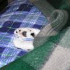 crescentdreams: Domino, sleeping, under the upper most cover of the bed, only front paws visible. (buried, paws, nap)