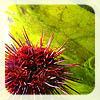 meghanc: purple-red sea urchin, green plants (Default)