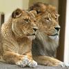 sid: (pretty Lions)